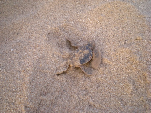 green turtle hatchling