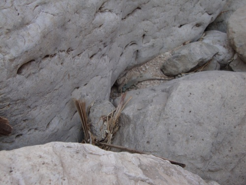 lizard in wadi