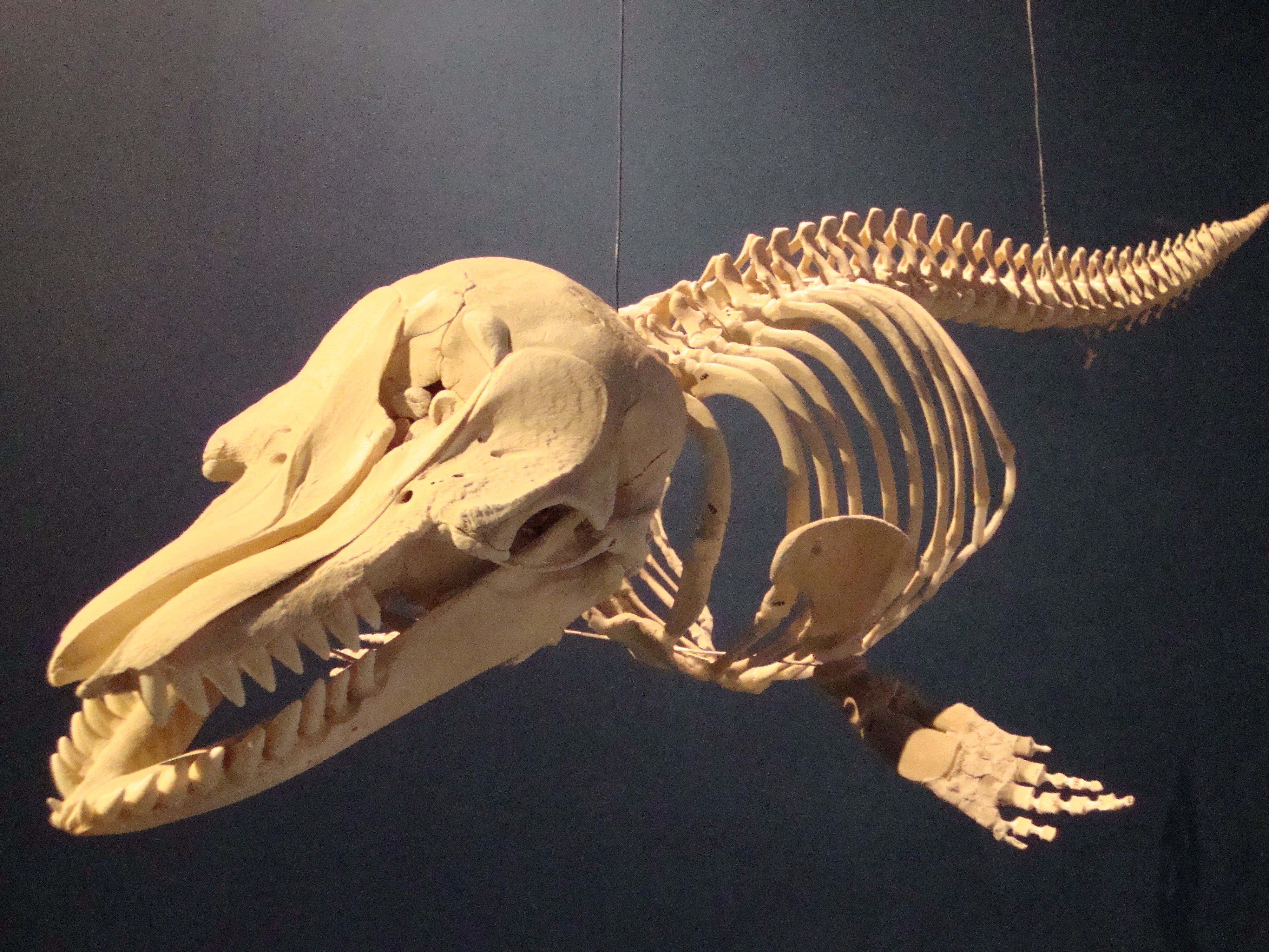 false killer whale skull