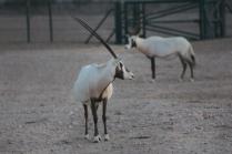 Visited Arabian Oryx Sanctuary in October