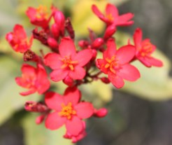 Red Flowers at al Sawadi Resort