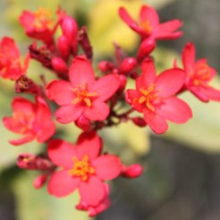 Red Flowers at al Sawadi Resort