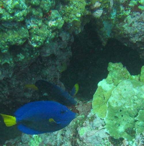 colorful blue and yellow fish