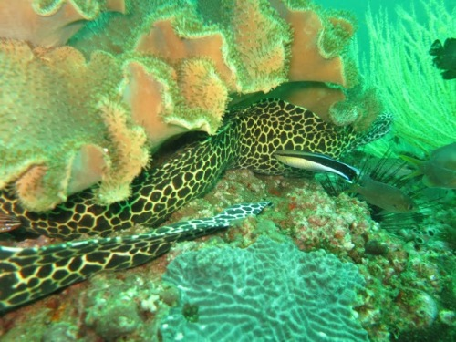 one long moray eel